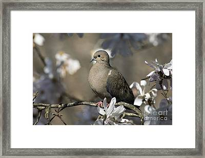 Mourning Dove - D009888 Framed Print by Daniel Dempster