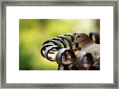 Mourning Dove In A Flower Planter Framed Print by Debbie Oppermann