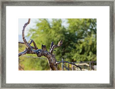 Mourning Dove In Old Tree Framed Print