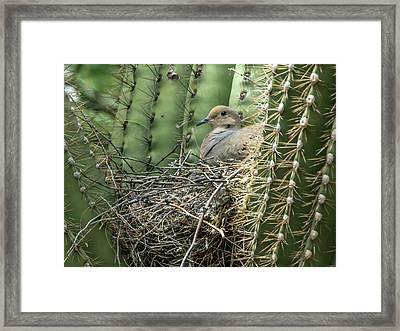 Mourning Dove On Nest 7693 Framed Print by Tam Ryan