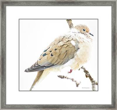 Mourning Dove, Snowy Morning Framed Print