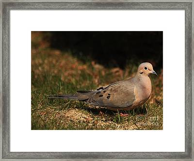 Mourning Dove Spring 2012 Framed Print by Marjorie Imbeau