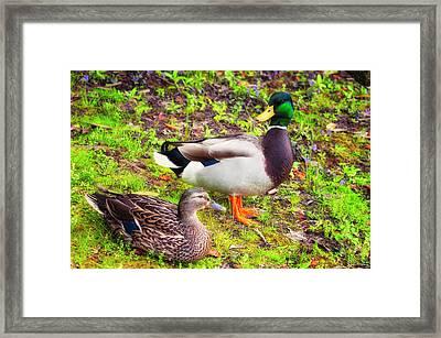 Mr And Mrs Mallard Framed Print