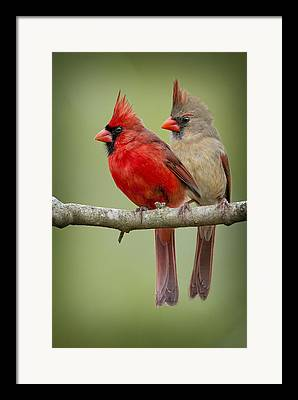 Male Cardinals Framed Prints