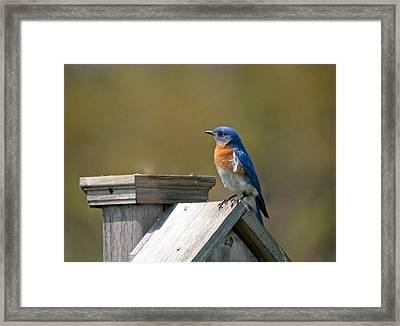 Mr Blue Bird Framed Print by Robert Pearson