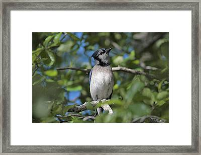 Mr. Blue Framed Print by Linda Crockett