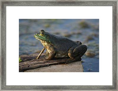 Mr. Bullfrog Framed Print