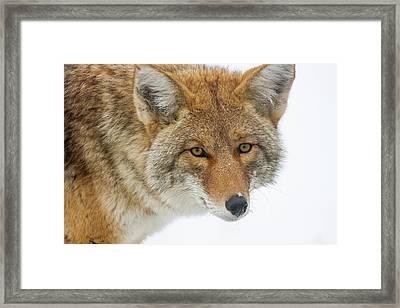 Mr. Coyote Framed Print