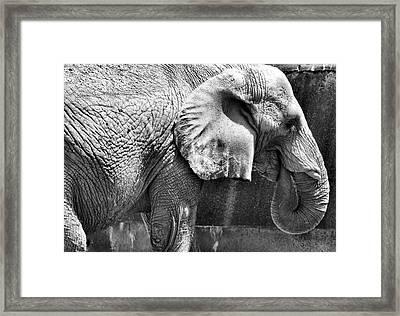 Mr. Elephant Framed Print by Karen M Scovill