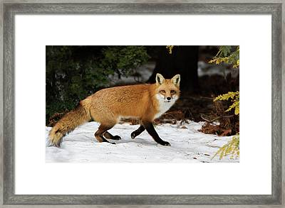 Framed Print featuring the photograph Mr Fox by Mircea Costina Photography