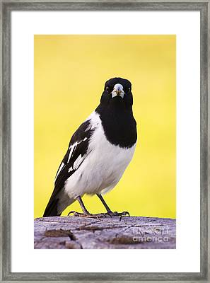 Mr. Magpie Framed Print by Jorgo Photography - Wall Art Gallery