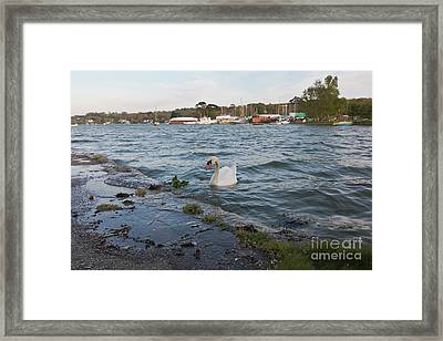 Mr Mylor Swan Framed Print
