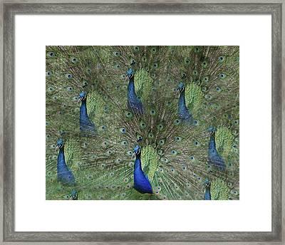 Mr Peacock Framed Print