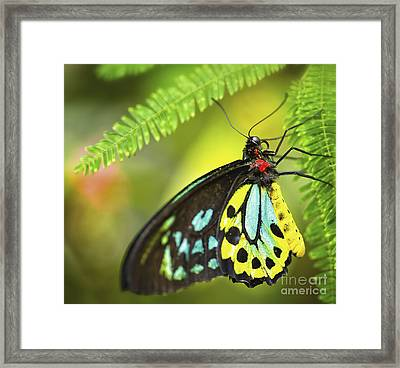 Mr. Richmond Birdwing Framed Print