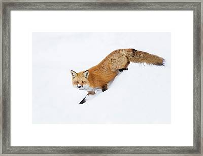 Framed Print featuring the photograph Mr Sly by Mircea Costina Photography