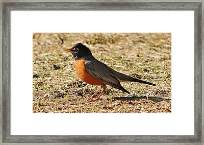 Framed Print featuring the photograph Mr. Spring Robin by Al Fritz