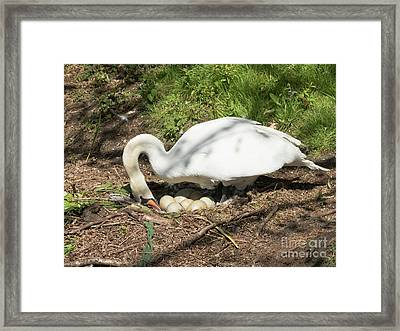 Mrs Mylor Swan And Her Eggs Framed Print