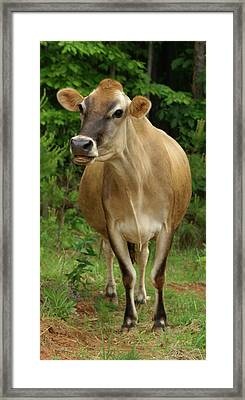 Ms Bovine Framed Print