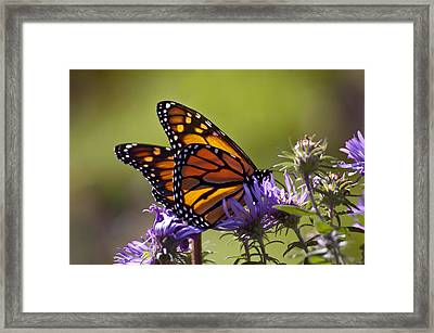 Ms. Monarch Framed Print by Ross Powell