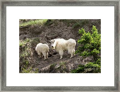 Mt Goat Outing Framed Print