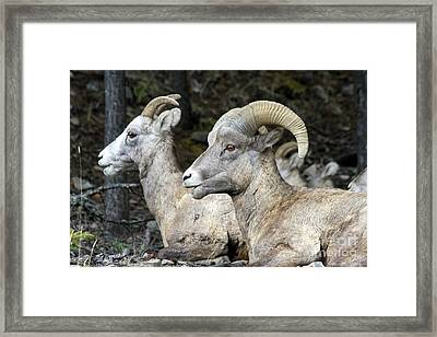 Mt Sheep  Framed Print