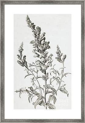 Mufle De Veau Framed Print