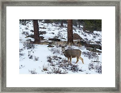 Mule Deer - 8922 Framed Print