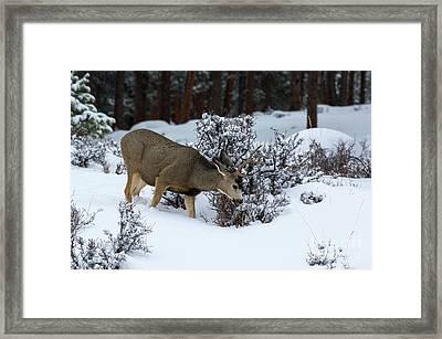 Mule Deer - 9130 Framed Print