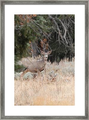 Mule Deer Buck Framed Print by Dennis Hammer