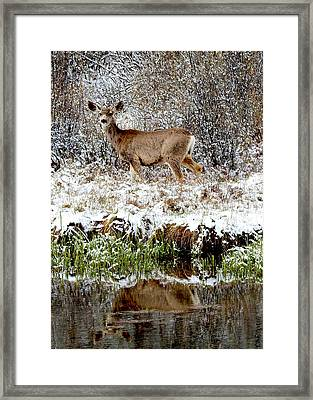 Mule Deer Doe In Pond Reflection Framed Print