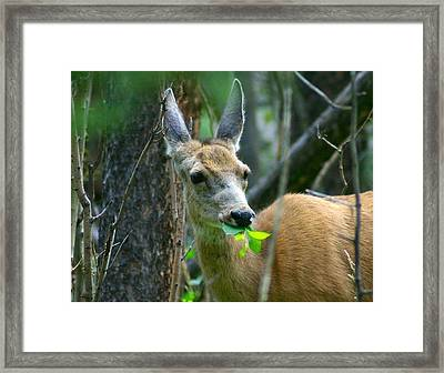 Mule Deer Eating Aspen Leaves Framed Print