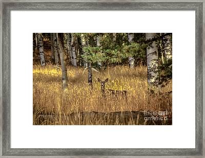 Mule Deer In The Aspens Framed Print by Robert Bales