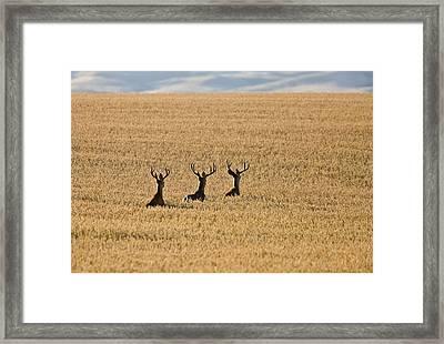 Mule Deer In Wheat Field Framed Print by Mark Duffy