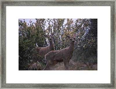 Mule Deer - Old State Rd. Framed Print by Soli Deo Gloria Wilderness And Wildlife Photography