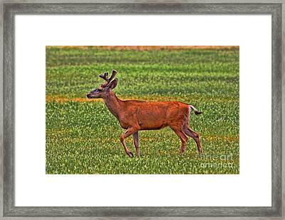 Mule Deer On The Sante Fe Trail Framed Print by Tommy Anderson