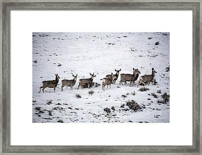 Muledeer Gather On A Snowy Hillside In Sweetwater County In Wyoming Framed Print by Carol M Highsmith