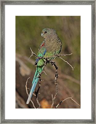 Mulga Parrot Female Framed Print