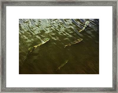 Mullet Fish Framed Print