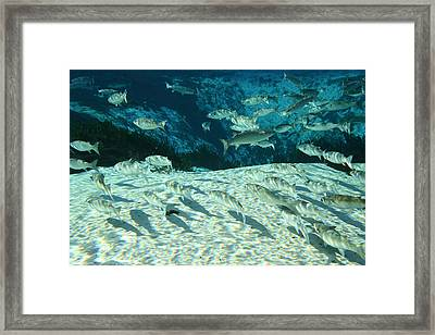 Mullet Swimming In Florida Spring Framed Print by Christopher Purcell