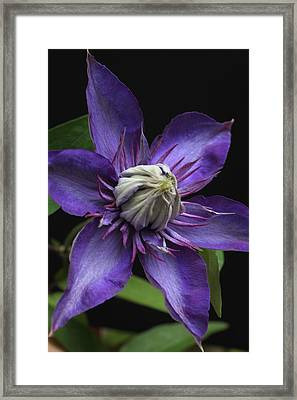 Multi Blue Clematis Framed Print by Tammy Pool