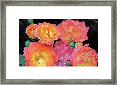 Multi-color Roses Framed Print by Jerry Battle
