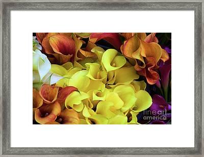 Multicolored Calla Lillies Framed Print