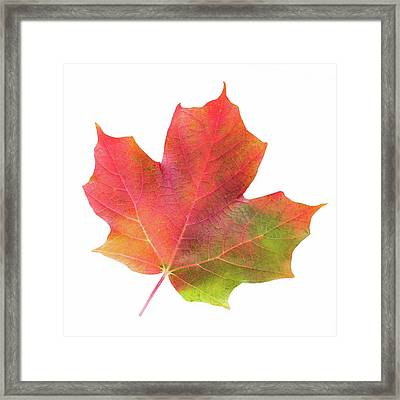 Framed Print featuring the photograph Multicolored Maple Leaf by Jim Hughes