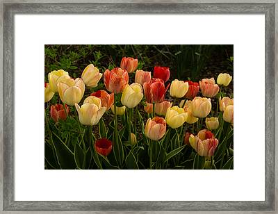 Multicolored Tulips - Enjoying The Beauty Of Spring  Framed Print