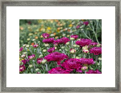 Mums Framed Print by Lori Parsells