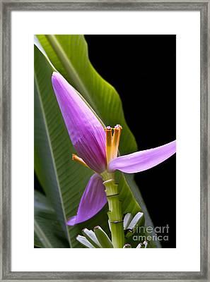 Musa Ornata Ornamental Banana Flower Framed Print