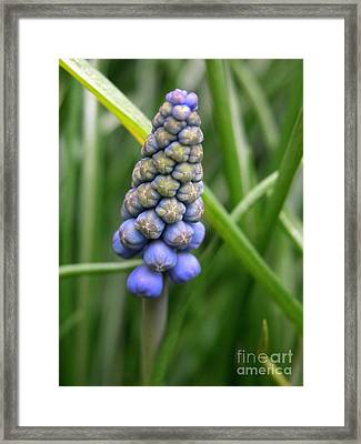 Muscari Drops Framed Print by Michelle Hastings