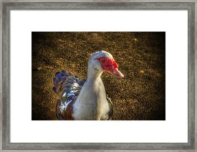 Muscovy Duck Framed Print by Barry Jones