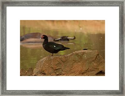 Muscovy Duck Framed Print