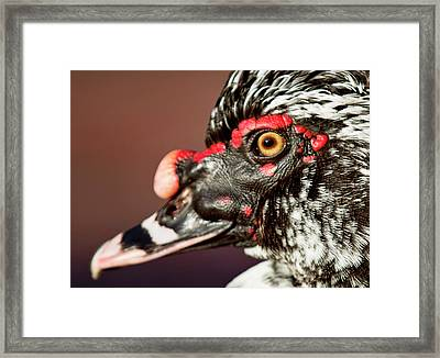 Framed Print featuring the photograph Muscovy by Sue Collura